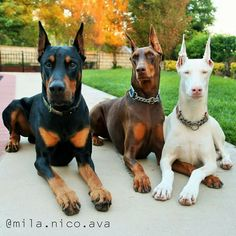 The Doberman Pinscher is among the most popular breed of dogs in the world. Known for its intelligence and loyalty, the Pinscher is both a police- favorite bree Mini Doberman, White Doberman Pinscher, Doberman Dogs, Pet Dogs, Dogs And Puppies, Dog Cat, Dobermans, Animals And Pets, Baby Animals