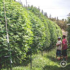 Masters making the game plan as the flowering began. Medical Marijuana & Cannabis Information Mary Jane Info MaritimeVintage.com #MedicalMarijuana #Marijuana #MaryJane #Medical