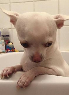Chihuahua asking Am I done with my bath now? Teacup Chihuahua, Chihuahua Puppies, Cute Puppies, Cute Dogs, Dogs And Puppies, Doggies, Chihuahuas, Cute Baby Animals, Funny Animals