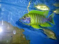 Tropical Fish, African Cichlids, 3 Lemon Jake Peacocks, FREE SHIPPING!