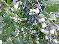 """Cresce il nostro olio extravergine di oliva """"Elaia"""", autentico, intriso di profumi e sapori mediterranei. Essenza di Calabria."""