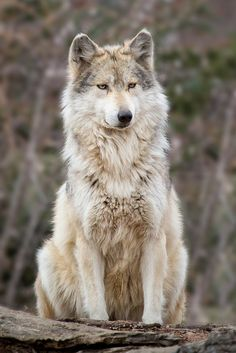 Dog Breeds List That Look Like Wolves (Wolf Dogs) - Animal Home Garden Wolf Photos, Wolf Pictures, Animal Pictures, Wolf Spirit, Spirit Animal, Beautiful Creatures, Animals Beautiful, Tier Wolf, Animals And Pets