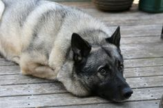 Norwegian Elkhound by kbjorklund, via Flickr
