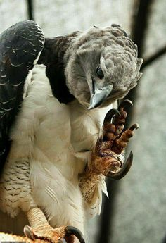 Harpy Eagle (Harpia harpyja) showing its claws. Harpy Eagle, biggest raptor in the world, South and Central America. HUGE claws, can kill an adult man easily! Love Birds, Beautiful Birds, Animals Beautiful, Aigle Harpie, Photo Aigle, Rapace Diurne, Wild Eagle, Animals And Pets, Cute Animals