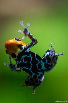 """Photo : Grenouille """"Dendrobate Fantasticus Alto Cainarache"""" sur une vitre"""