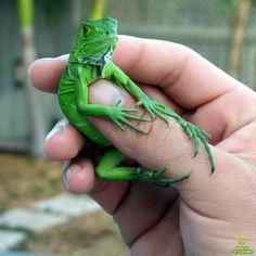 Iguanas verdes babys