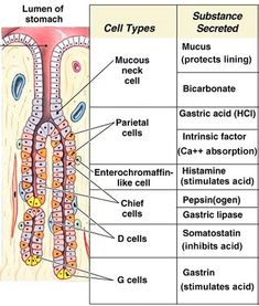 Digestive system - stomach cells and secretions