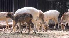 Venado gamo (Dama dama) Zoológico de Chapultepec
