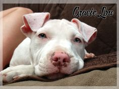 GRACIE LOU is an adoptable Pit Bull Terrier Dog in Antioch, IL. Well look at ME !!  My name is Gracie Lou and I am a Beautiful 14 week old baby girl. I was born January 28 2013, and I am available fo...