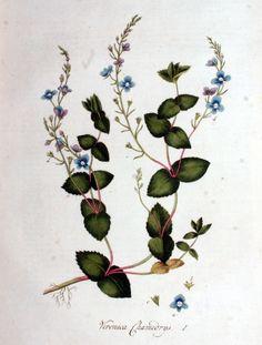 Veronica Chamaedrys. 1. - Flora Batava, Volume 1 (1800)