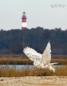 Owl flies over Assateague Island Chincoteague Island, Animal Kingdom, Natural Beauty, Virginia, Places To Go, Beautiful Places, Wildlife, Birds, Nature