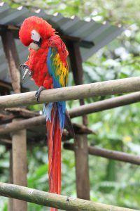 Scarlet Macaw at San Jose Zoo