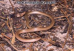 Peninsula Crowned Snake