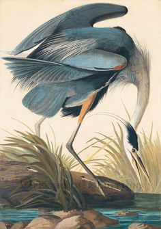 "Bird Watercolor: John James Audobon, ""Great Blue Heron,"" 1834."