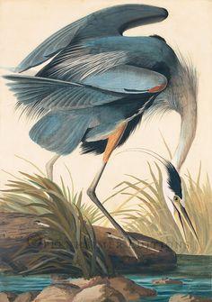 "John James Audobon, ""Great Blue Heron,"" Watercolor, 1834."