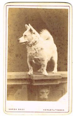 OLD CDV PHOTOGRAPH PET GORGI TYPE DOG MARSH BROS HENLEY ON THAMES ANTIQUE C.1880