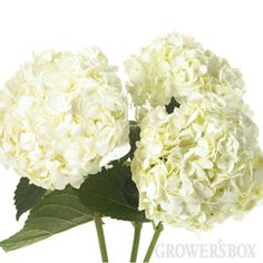 Google Image Result for http://www.growersbox.com/product/hydrangea-white-40-stems-101/images/products/101_image.hydrangea%20275.jpg