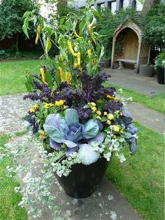 2015 Plants:    Barbarea vulgaris 'Variegata' (land cress)    Brassica oleracea 'Redbor' F1 (curly kale)    Brassica oleracea 'Red Drumhead' (red cabbage)    Capsicum 'Golden Cayenne' (chilli)    Helichrysum petiolare    Lantana 'Red Flame' Lucky Series    Lantana 'Yellow Improved' Lucky Series    Rudbeckia sp. (annual)    Verbena cv. (pale violet)