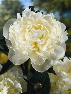Peony 'Duchess de Nemours' (Paeonia)  www.PerennialResource.com