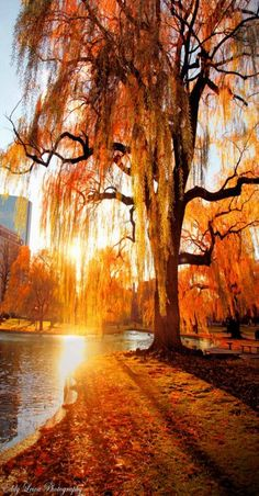 Gorgeous Weeping Willow tree in Fall - i want a weeping willow in my yard someday Weeping Willow, Willow Tree, Beautiful World, Beautiful Places, Beautiful Pictures, Seasons Of The Year, Fall Season, Belle Photo, Autumn Leaves