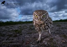 "A ""Funky"" wide angle Little Owl by Austin_Thomas via http://ift.tt/1WOjR4Q"