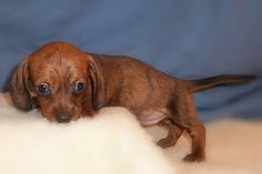 A Red Brindle Wirehaired Dachshund