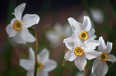 Poeticus or Pheasant's Eye Daffodil 5 of 5