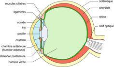 L'oeil humain : schéma et fonctionnement