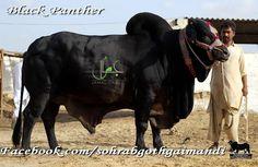 Eid Al Adha 2015 Pictures Eid Al Adha, Black Panther, Horses, Pictures, Animals, Photos, Animales, Animaux, Horse