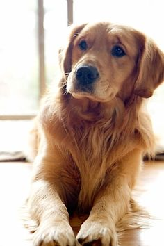 a golden retriever RIP Brandi! Love Goldens!