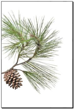 Prints of Pine branch with cone isolated on white background k9523196 - posters, canvas print, mural print, poster artwork, wall decor - k9523196.jpg