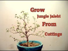 How to grow  Pithecellobium dulce  from Cuttings | With Update | Grow Ju...