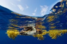 "Sea Turtles' ""Lost Years"" Transatlantic Journey Mapped for First Time 