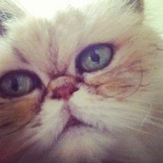 wistful, shelby, persian cat