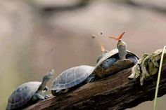 Reptiles: A butterfly feeding on the tears of a turtle in Ecuador Beautiful Creatures, Animals Beautiful, Cute Animals, Animal Original, Equador, Turtle Love, Tiny Turtle, Butterfly Photos, Butterfly Kisses
