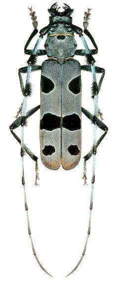 Cerambycidae. Rosalia alpina. Alpenbockkäfer