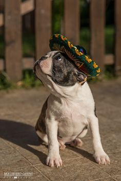 Boston Terrier in a sombrero. Is doesn't get much cuter