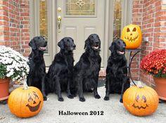 Happy Halloween Flatcoated Retrievers