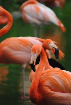 """Photography by Emma Vaughan """"Flamingos"""" at Whipsnade Zoo"""