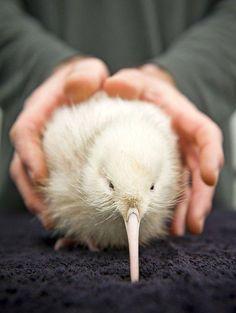 Rare white kiwi