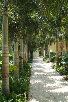 Image result for alocasia cucullata and palm in landscape design