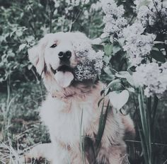 We Are Golden, Dogs, Animals, Animales, Animaux, Pet Dogs, Doggies, Animal, Dog