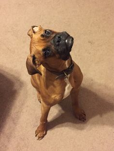 reasons to never own a boxer! I was about to get mad until I took a look at this. Boxers are the best dogs. Cute Puppies, Cute Dogs, Dogs And Puppies, Doggies, Baby Dogs, Boxer And Baby, Boxer Love, Animals And Pets, Cute Animals