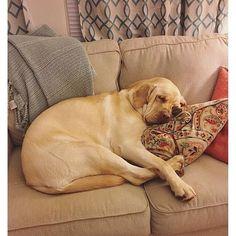 I don't do Mondays. Congratulations Dunc / @lifeofdunc you are the Labrador of…