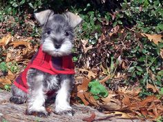Baby Owl learning to fly… Now that's a big dog Schnauzer dogs Cute Puppies, Cute Dogs, Dogs And Puppies, Doggies, Animals And Pets, Baby Animals, Cute Animals, Mini Schnauzer Puppies, Miniature Schnauzer