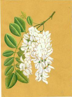 Robinia pseudoacacia. luisa capparotto
