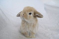 dwarf bunnies with floppy ears