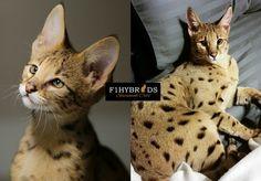 Client testimonials for our F1 Savannah Cat & F2 Savannah Cats.