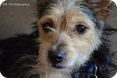Boston, MA - Yorkie, Yorkshire Terrier/Chinese Crested Mix. Meet Rusty, a dog for adoption. http://www.adoptapet.com/pet/10844471-boston-massachusetts-yorkie-yorkshire-terrier-mix