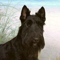 I want a Scottish terrier soooo much!